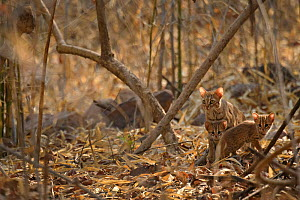 Rusty spotted cat (Prionailurus rubiginosus) female and kittens in woodland. Tadoba Andhari Tiger Reserve, Maharashtra, India. Photo� Harsha Narasimhamurthy/Felis Images - Felis Images