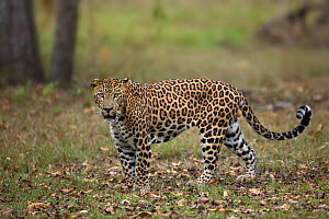 Indian leopard (Panthera pardus fusca). Nagarhole National Park, India. Photo� Phillip Ross/Felis Images - Felis Images
