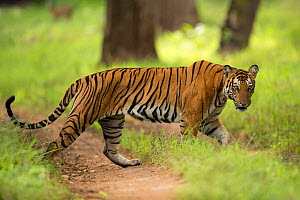 Bengal tiger (Panthera tigris) walking across track. Nagarhole National Park, India. Photo� Phillip Ross/Felis Images - Felis Images
