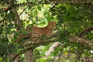 Leopard (Panthera pardus) lounging in tree. Nagarhole National Park, India. Photo� Phillip Ross/Felis Images - Felis Images