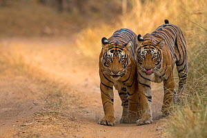 Bengal tiger (Panthera tigris), two walking along track side by side. Ranthambore National Park, India. Photo� Phillip Ross/Felis Images - Felis Images