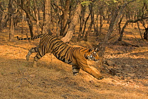 Bengal tiger (Panthera tigris) running down slope. Ranthambore National Park, India. Photo� Phillip Ross/Felis Images - Felis Images