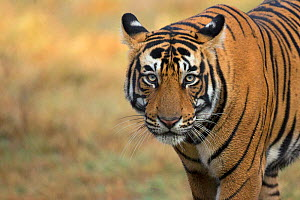 Bengal tiger (Panthera tigris), portrait. Ranthambore National Park, India. Photo� Phillip Ross/Felis Images - Felis Images
