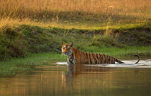 Bengal tiger (Panthera tigris) standing in water. Bandhavgarh National Park, Madhya Pradesh, India. Photo� Phillip Ross/Felis Images - Felis Images