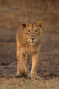 Asiatic lion (Panthera leo persica), portrait. Gir National Park, Gujarat, India. Photo� Phillip Ross/Felis Images - Felis Images