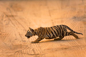 Bengal tiger (Panthera tigris) cub stalking. Bandhavgarh National Park, Madhya Pradesh, India. Photo� Phillip Ross/Felis Images - Felis Images