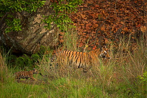 Bengal tiger (Panthera tigris) female and two cubs walking through grass, female carrying cub in mouth. Bandhavgarh National Park, Madhya Pradesh, India. Photo� Phillip Ross/Felis Images - Felis Images