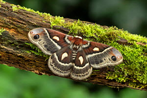 Columbia silkmoth (Hyalophora columbia) Lac-Drolet, province, Quebec, Canada, March.  -  Robert  Thompson