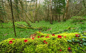 Scarlet elf cup fungus (Sarcoscypha coccinea) Clare Glen, Tandragee, Count Armagh, Ireland. March.  -  Robert  Thompson