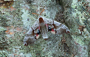 Twin spotted sphinx moth (Smerinthus jamaicensis) British Columbia, Canada. - Robert  Thompson