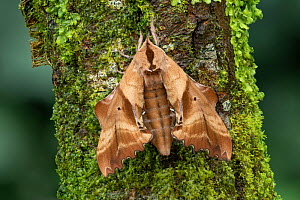 Blinded sphinx moth (Paonias excaecatus) Lac-Drolet Province, Quebec, Canada. - Robert  Thompson