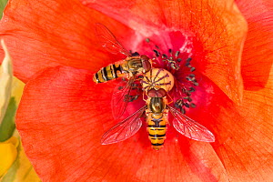 Hoverfly (Episyrphus balteatus) feeding from the red flower of a long-headed poppy, (Papaver dubium), Berkshire, July - Nigel Cattlin