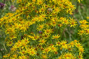 Ragwort (Jacobaea vulgaris) yellow star-shaped flowers with ray and disc florets, some older and darker. Poisonous to livestock, Berkshire, July - Nigel Cattlin