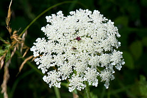Wild carrot / Queen Anne's lace (Daucus carota) dense white umbel with insects and a single dark red maroon floret in the centre. - Nigel Cattlin