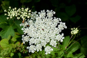 Wild carrot / Queen Anne's lace (Daucus carota) dense white umbel with insects and a single dark red maroon floret in the centre. Berkshire, England, UK. - Nigel Cattlin