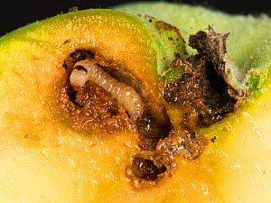 Immature caterpillar of a codling moth (Cydia pomonell) eating its way through a gallery in a ripening apple fruit, Berkshire, July - Nigel Cattlin