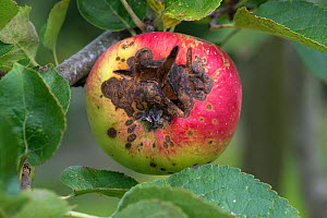 Necrotic spotting and cracking caused apple scab, (Venturia inaequalis) on a ripe apple on the tree, Berkshire, August - Nigel Cattlin