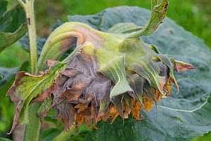 Grey mould (Botrytis cinerea) on a large Sunflower flower as it begins to go to seed Berkshire, England, UK. - Nigel Cattlin