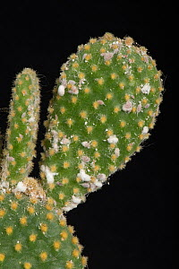 Glasshouse mealybug (Pseudococcus viburni) infesting the swollen stem of a Bunny-ears cactus, (Opuntia microdasys). - Nigel Cattlin