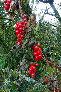 Red poisonous berries of Black bryony (Dioscorea communis) remain after the leaves and climbing stem die back in autumn Berkshire, England, UK. - Nigel Cattlin