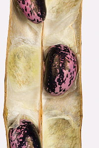 Dry Runner bean (Phaseolus coccineus) seeds in the pod for collection for next year's crop Berkshire, England, UK.  -  Nigel Cattlin
