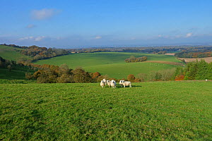 Sheep and autumnal landscape view of West Berkshire from high on the North Wessex Dows near Hungerford, November - Nigel Cattlin