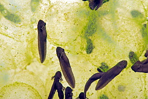 European common frog (Rana temporaria) frogspawn with hatched and hatching tadpoles, Berkshire, England, UK. April - Nigel Cattlin