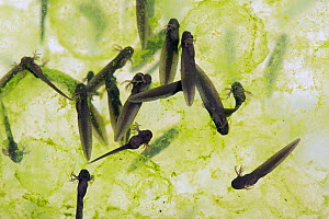 European common frog (Rana temporaria) frogspawn with hatched and hatching tadpoles, April Berkshire, England, UK. - Nigel Cattlin