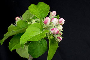 Flower opening series of images of an apple from pink bud to king flower among a rosette of green leaves in spring Berkshire, England, UK. - Nigel Cattlin