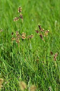 Field woodrush / Good Friday grass (Luzula campestris) a weed rush flowering in a garden lawn, April Berkshire, England, UK. - Nigel Cattlin