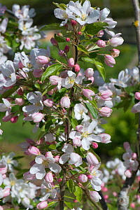 Young Crab apple tree (Malus 'John Downie') in full blossom on a fine spring day, Berkshire, England, UK. May - Nigel Cattlin