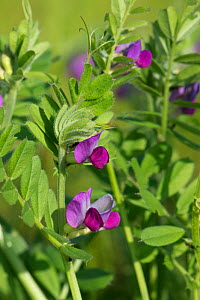 Common vetch (Vicia sativa) with magenta flowers flowering in rough grassland, Berkshire, May - Nigel Cattlin