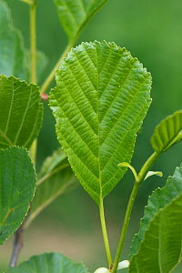 Young Alder leaves (Alnus glutinosa) on the tree in spring, Berkshire, May - Nigel Cattlin