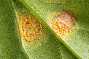 Arum / Ramson's rust (Puccinia sessilis) pustules and lesions on leaves of wild arum, lords and ladies (Arum maculatum) Berkshire, England, UK. - Nigel Cattlin