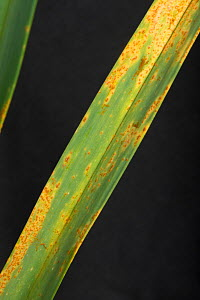 Leek rust (Puccinia allii / porri), fungal disease infection and orange pustules on leaves of leek, May Berkshire, England, UK. May. - Nigel Cattlin