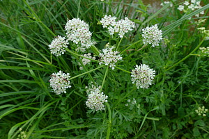 Cowbane (Cicuta virosa) white poisonous flowering plants beside the Kennet and Avon Canal, Berkshire, June Berkshire, England, UK. - Nigel Cattlin