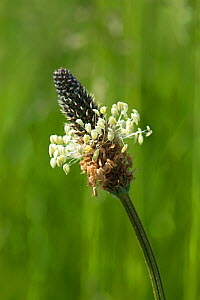 Flower and anthers of Ribwort / Narrowleaf plantain (Plantago lanceolata) plant on wasteground, Berkshire, May - Nigel Cattlin
