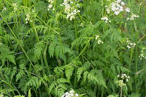 Cow parsley (Anthriscus sylvestris) foliage with green, fern-like, leaves on roadside verge, Berkshire, May - Nigel Cattlin