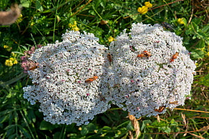 Wild Sea carrot (Daucus carota subsp. gummifer), flowering on cliffs in South Devon, England, UK. July  -  Nigel Cattlin