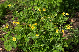Young leaves and flowers of a Greater celandine, (Chelidonium majus) in spring, Berkshire, May - Nigel Cattlin