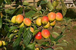 Crab apple, (Malus 'John Downie'), with red, orange-yellow ovoid fruit on the tree, Berkshire, August - Nigel Cattlin