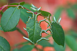 Large rose sawfly (Arge pagana) larvae feeding on ornamental rose leaves in summer, Berkshire, September  -  Nigel Cattlin