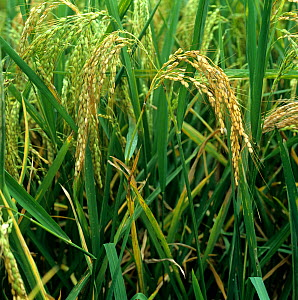 Symptoms of Neck blast (Magnaporthe grisea) on Rice (Oryza sativa) plants in ear, Luzon, Philippines - Nigel Cattlin