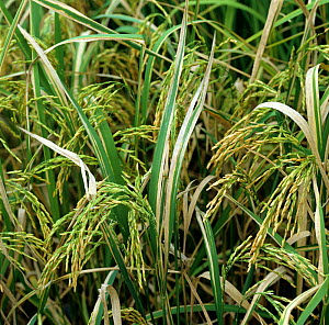 Bacterial blight (Xanthomonas oryzae pv oryzae) disease lesions on Rice (Oryza sativa) crop, Luzon, Philippines - Nigel Cattlin