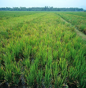 Tungro virus (Rice (Oryza sativa) tungro bacilliform virus) on diseased, damaged Rice (Oryza sativa) plot, Philippines  -  Nigel Cattlin