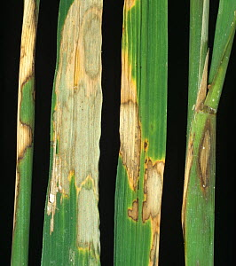 Sheath blight (Rhizoctonia solani) disease bleached lesions on leaves and stems of Rice (Oryza sativa), Luzon, Philippines - Nigel Cattlin