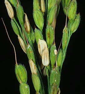 Sheath blight (Rhizoctonia solani) diseased bleached lesions on grains on a Rice (Oryza sativa) ear, Luzon, Philippines - Nigel Cattlin