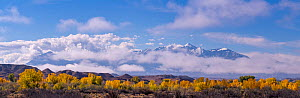 Henry Mountains with new snow, above autumn coloured Cottonwood (Populus) lining the Fremont River. Utah, USA, October 2018. - Jack Dykinga