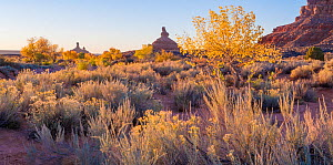 Morning light with Cottonwoods trees in autumn the river with with sagebrush and rabbitbrush in the forground. Valley of the Gods, Colorado Plateau, Great Basin Desert, USA. - Jack Dykinga