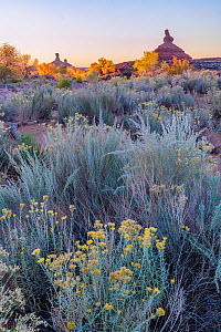 Morning light with autumn colored Cottonwoods (Populus) trees lining the riverside with Sagebrush (Artemisia) and Rabbitbrush in the foreground. Valley of the Gods, Colorado Plateau, Great Basin Deser... - Jack Dykinga
